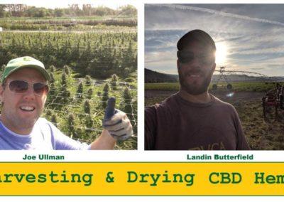 How to Harvest & Dry CBD Hemp