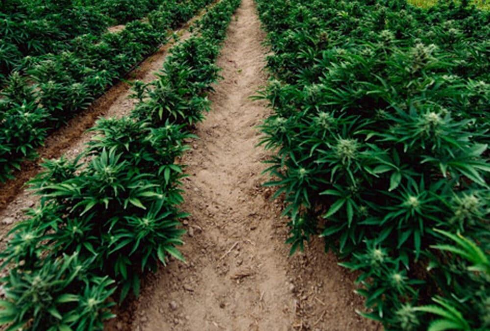 Feminized Autoflowering Cannabis and Hemp: Direct Sow vs Transplant
