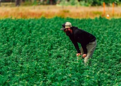 Marijuana Venture: A Solution for Scaling