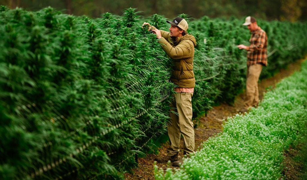 Sensi Norcal: Curated Cannabis Takes the Industry By Storm