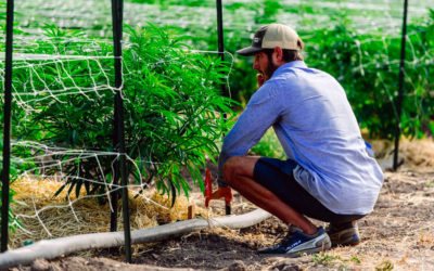Is There a Difference Between Cannabis or Hemp from Feminized AutoFlowering Seeds?